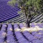 le Provence gourmande selon Giono